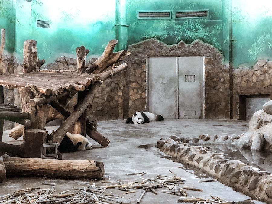 panda, cucciolo di panda, chengdu, cosa vedere in cina